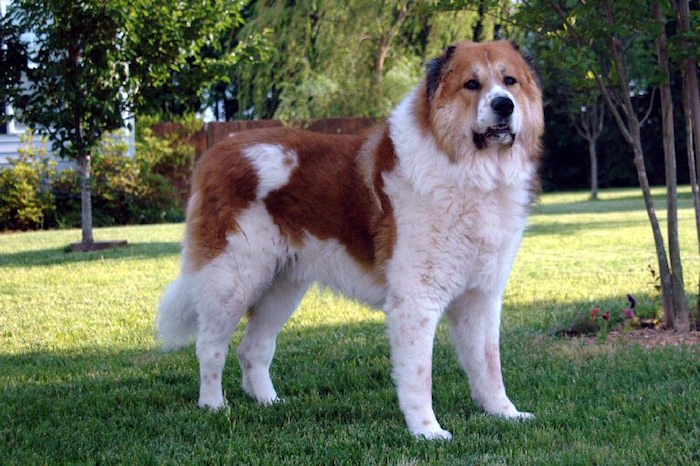 caucasian-shepherd-dog