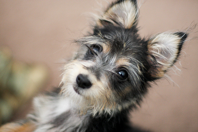 chihuahua and yorkie mix chorkie chihuahua yorkie mixe breed profile what you 9096