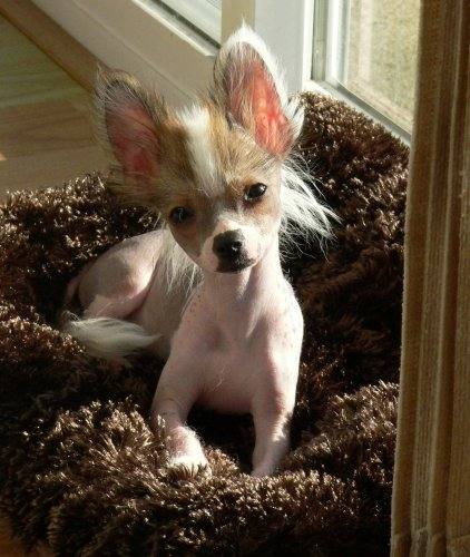 15 Chihuahua Mixed Breeds Pint Sized Cuties To Cuddle With
