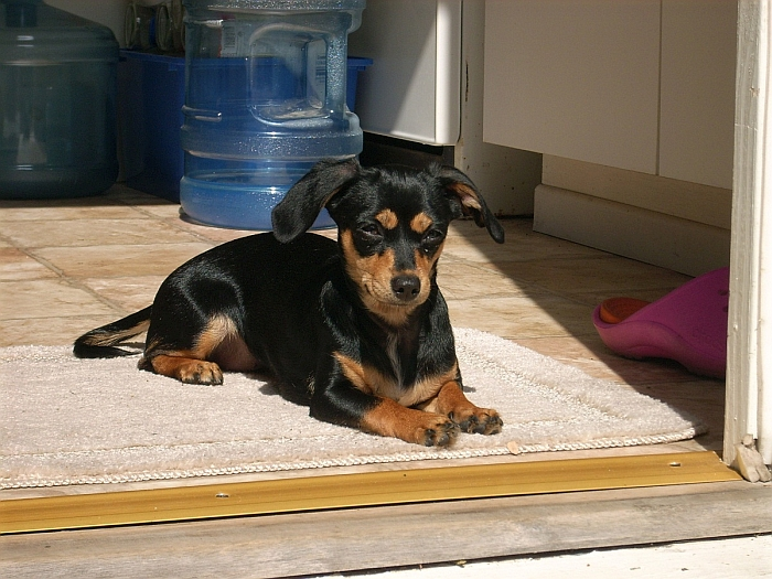 chihuahua_dachshund_mix