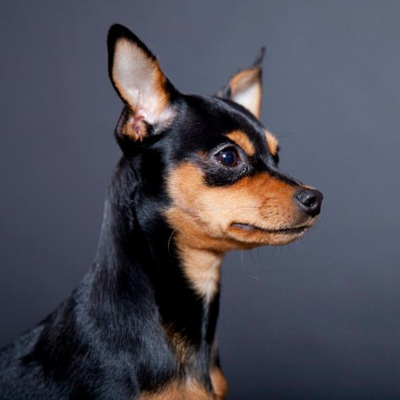 min pin chihuahua 15 chihuahua mixed breeds pint sized cuties to cuddle with 5411