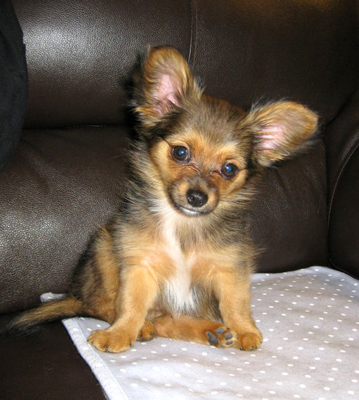 Chorkie Chihuahua Yorkie Mixe Breed Profile What You Need To Know