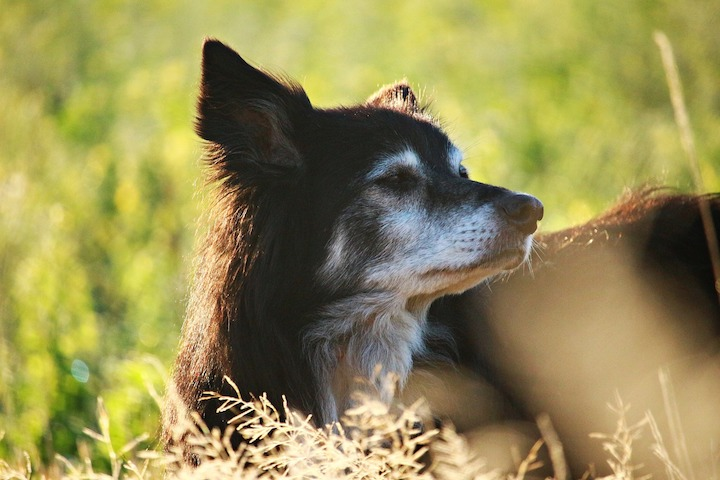 incontinence in older dogs