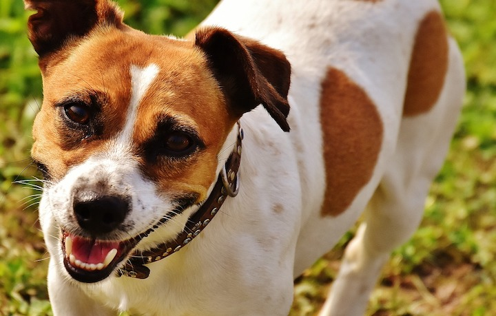Jack Russell Terriers are British