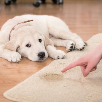 puppy-pees-on-carpet