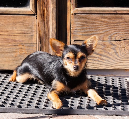 chihuahua and yorkie mix chorkie chihuahua yorkie mixe breed profile what you 4759