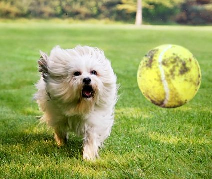 dog fetch obsessed