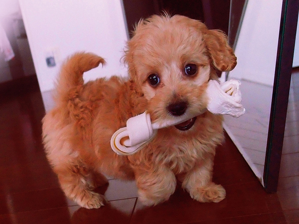 adorable-dachshund-mixes