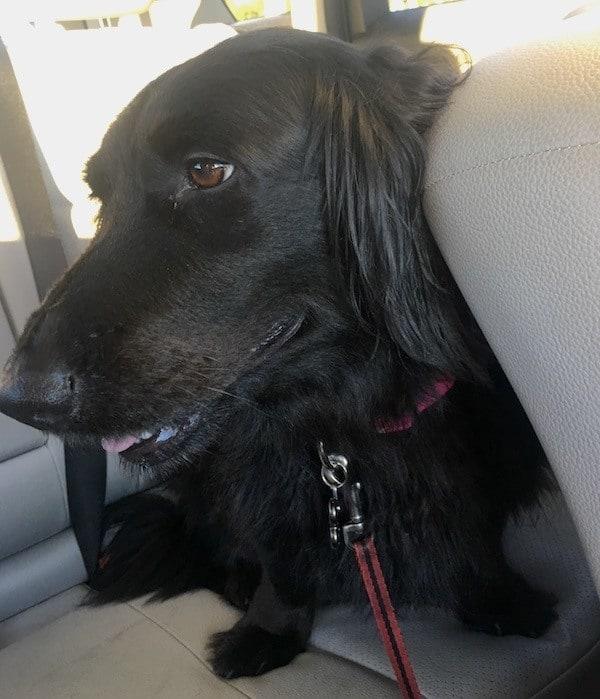 dachshund-flat-coat-mix