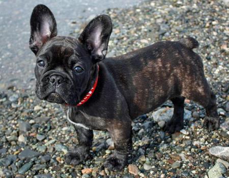 Bulldog Breeders  English Bulldogs  Canadas Guide to Dogs