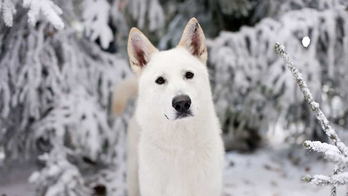 think before you buy the potential perils of direwolf ownership