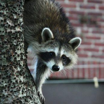dog-proof-raccoon-traps