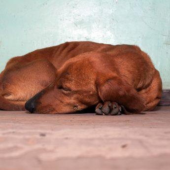 dogs-sleep-curled-up