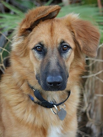 german shepherd mix golden retriever 17 adorable german shepherd mixes top of their class 5144