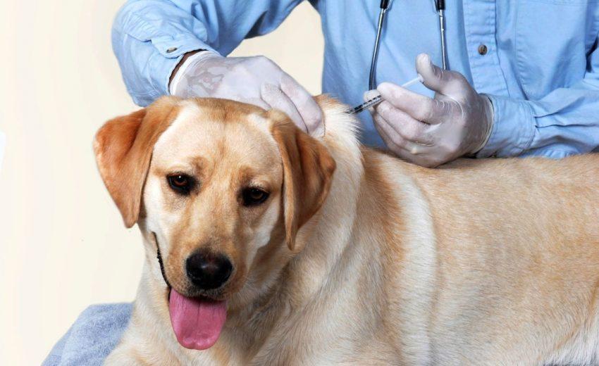 Giving Dogs Prednisone