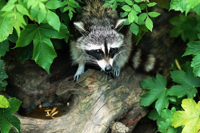 raccoon-traps-safe-for-dogs
