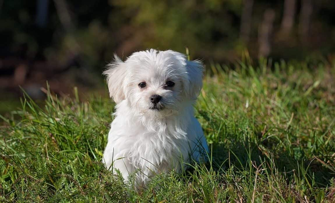8 Awesome Maltese Mixes: The Cutest, Cuddliest Maltese Mixed