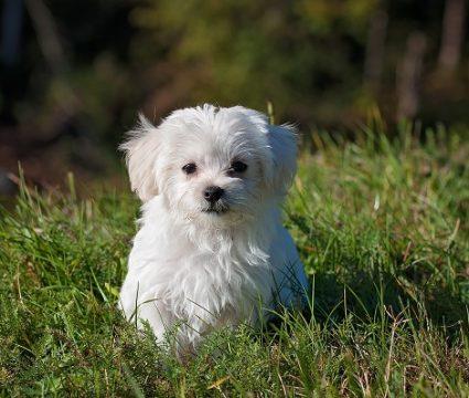 6 Best Dog Foods for Maltese [2019]: Best Munches for Maltese Pups!