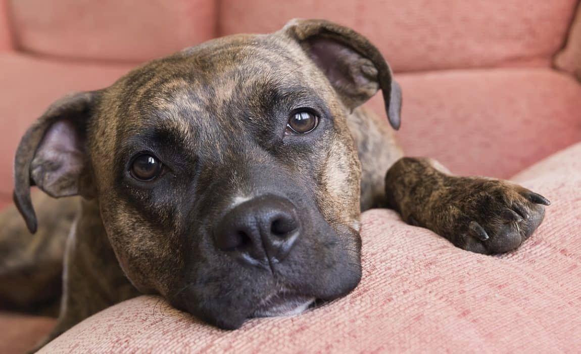 best_beds_for_pit_bulls