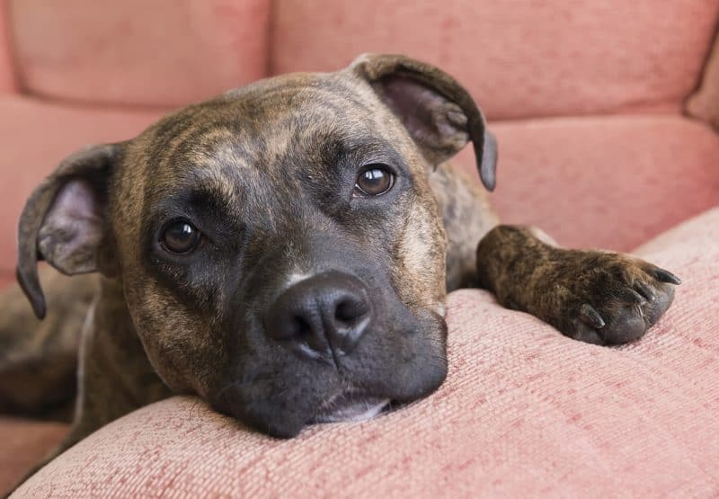 5 Best Dog Beds for Pit Bulls: Suppotive, Comfy, & Chew Proof!