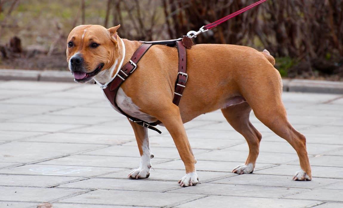 chew-proof-harness