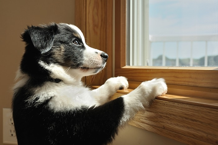 dog-proof-window-blinds