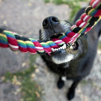 why dogs love tug of war