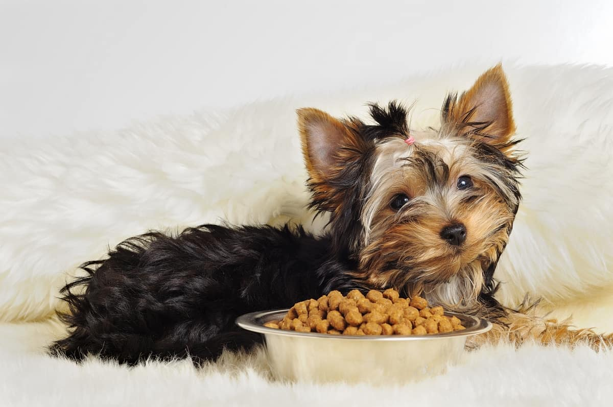 What to feed the toy-terrier