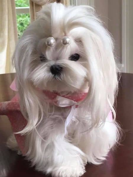 15 Maltese Haircuts Amp Hairstyles White Fluffy And