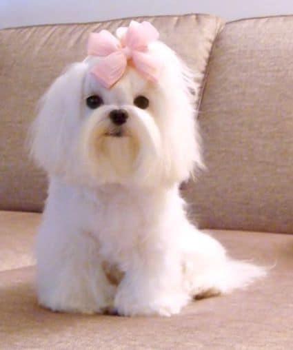 maltese hair bow