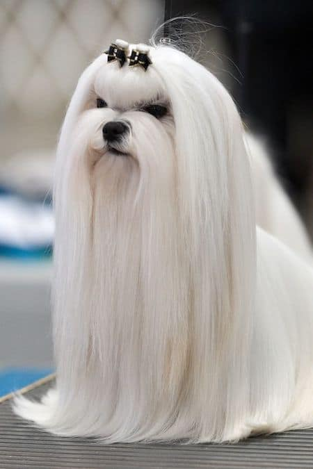 15 Maltese Haircuts Hairstyles White Fluffy And Looking Fabulous