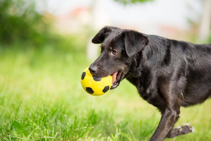 soccer-ball-for-dogs