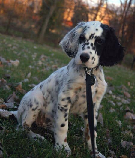 15 dalmatian mixes  spotting the right canine partner