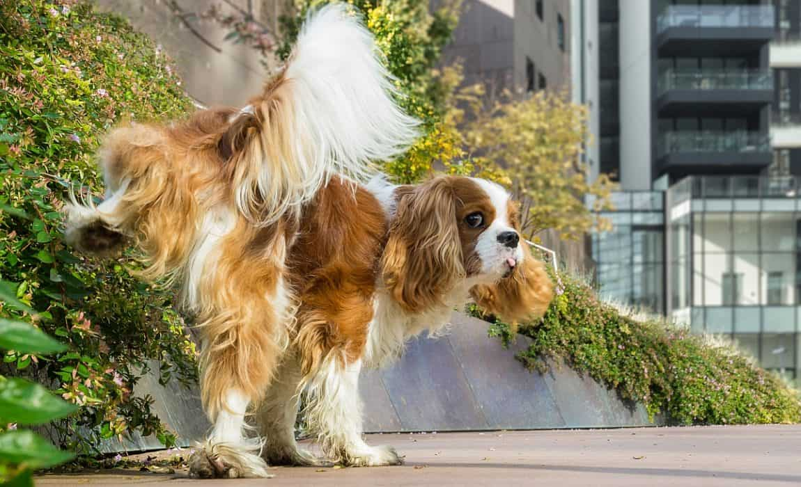 5 Best Dog Litter Boxes: Indoor Pooch Potty Options [2019