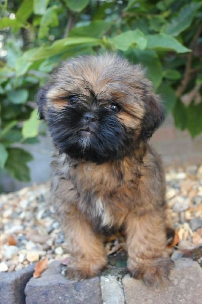 16 Pug Mi Perfect Breeds