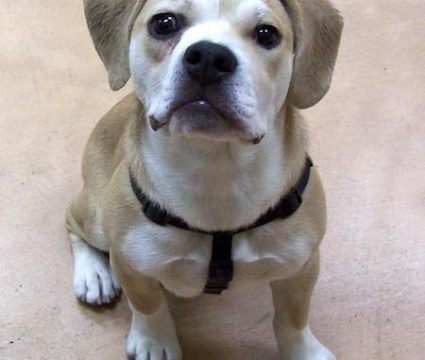 beagle-bulldog-mix