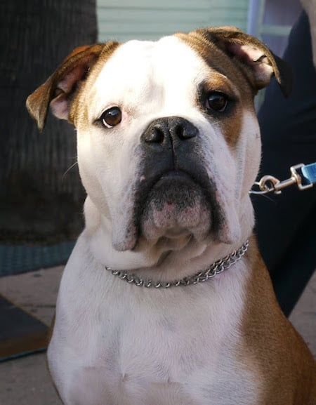 7 Bulldog Mixes: Beautiful, Button-Nosed Bully Mixed Breeds!