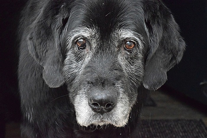 weight-loss-in-older-dog