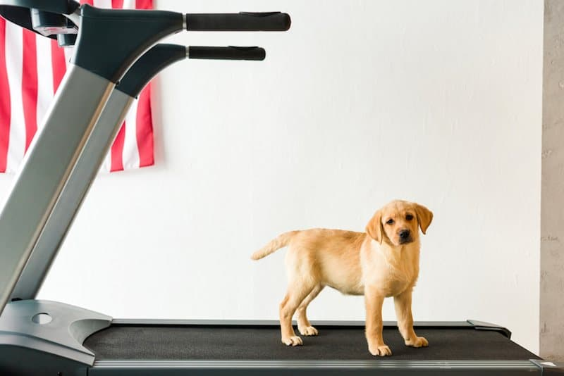 3 Best Dog Treadmills + Buying Guide: Indoor Exercise For Your Pooch!