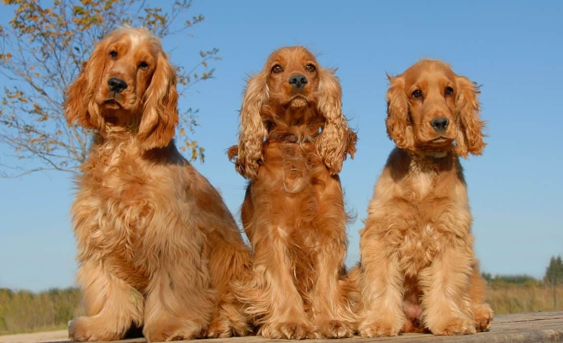 5 Best Dog Foods For Cocker Spaniels 2018 Reviews Ratings