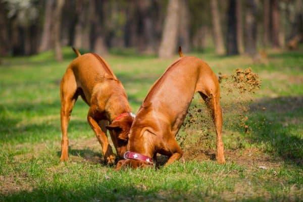 dog digging at ground