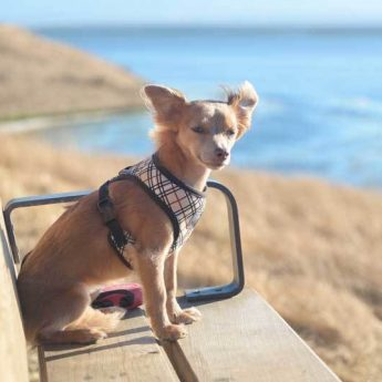 best-dog-harness-for-training