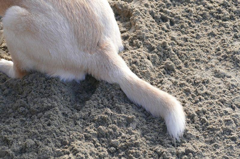 dog broken tail 1