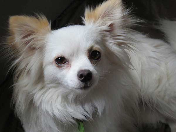 long-hair-chihuahua