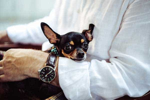 Types of Chihuahuas: Six Types From Short-Haired to Apple