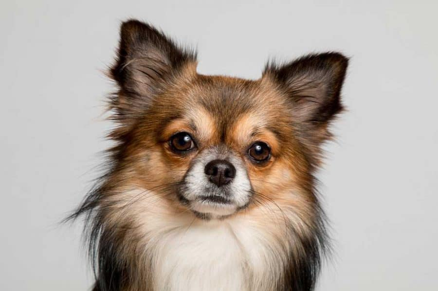 6 Types Of Chihuahuas From Short