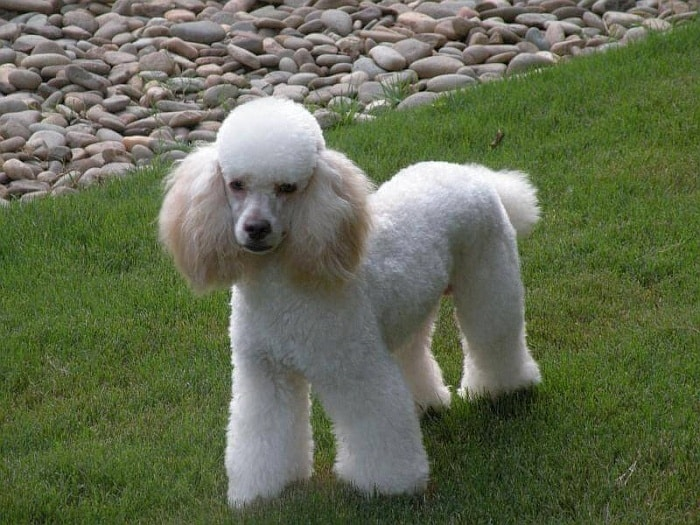 Types Of Poodles 5