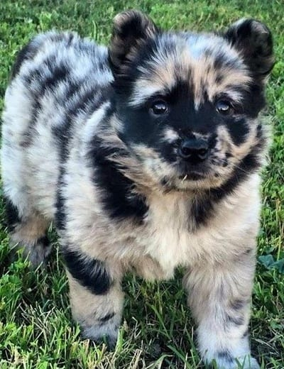 14 australian shepherd mixes  working dogs with hearts of gold
