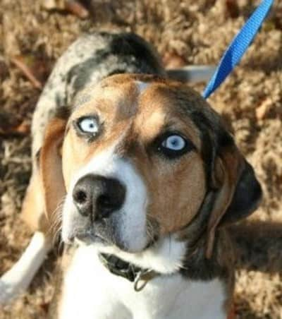 australian_shepherd_and_beagle