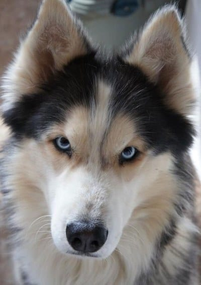 husky and Australian shepherd